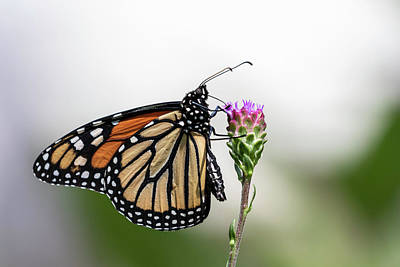 Designs Similar to Monarch 2018-17 by Thomas Young