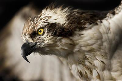 Osprey Florida Photographs