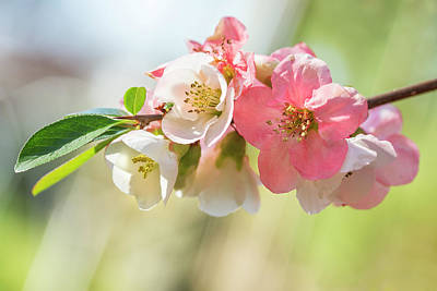 Designs Similar to Pink Quince Flowers In April