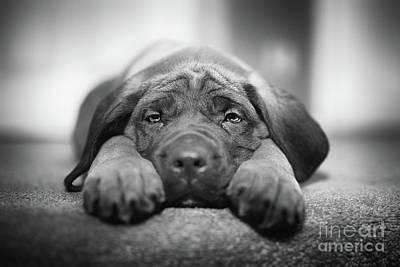 English Mastiff Photographs