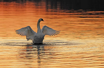 Wing Spread Of Swan Over Four Feet Photographs