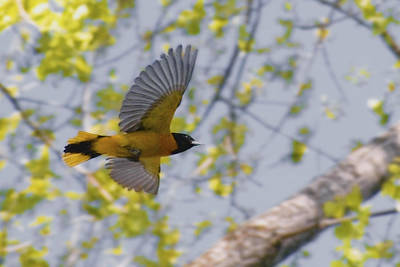 Designs Similar to The Baltimore Oriole In-flight