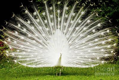 White Peacock Photographs