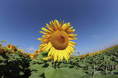 Designs Similar to Bee On Blooming Sunflower