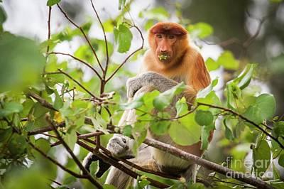 Designs Similar to Female Proboscis Monkey Feeding