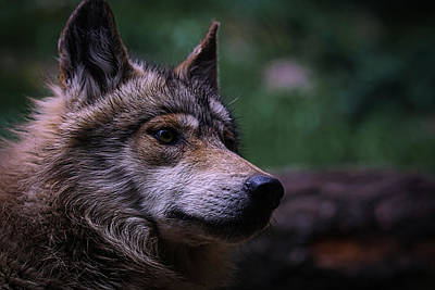 Designs Similar to Mexican Grey Wolf