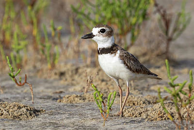 Designs Similar to Wilsons Plover 1 by Ivan Kuzmin