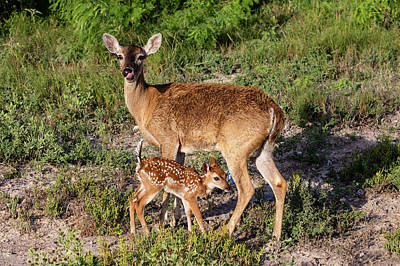 Designs Similar to White-tailed Deer (odocoileus