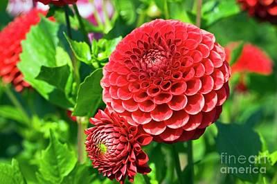 Designs Similar to Dahlia Flowers