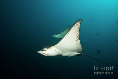 Designs Similar to Spotted Eagle Ray