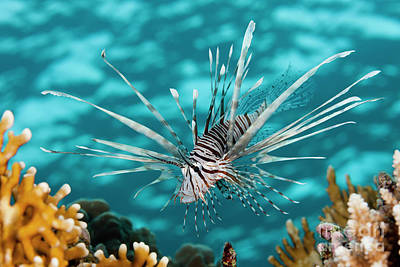 Designs Similar to Indian Lionfish