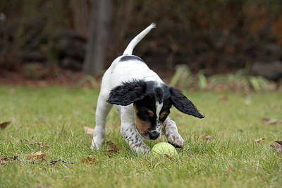 Designs Similar to English Setter Puppy, 8 Weeks
