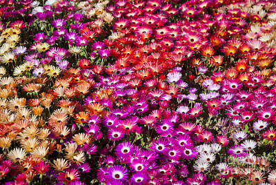 Designs Similar to A Bed Of Livingstone Daisies In