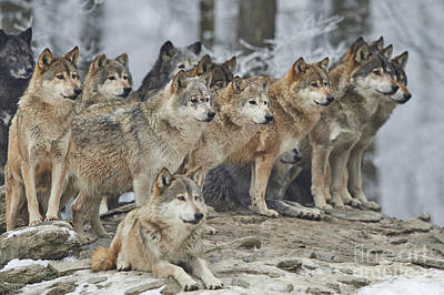 Designs Similar to A Pack Of Wolves In Snow