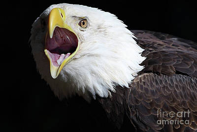 Designs Similar to Bald Eagle by Rick Mann