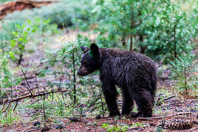 Grizzly Bear Cub Photographs