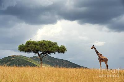 Acacia Trees Photographs