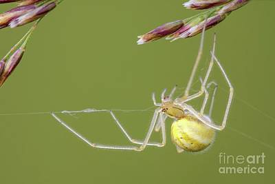Designs Similar to Comb-footed Spider