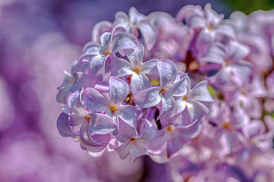 Designs Similar to Common Lilacs by Donald Lanham