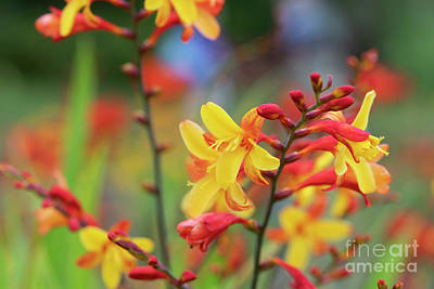 Designs Similar to Crocosmia Harlequin