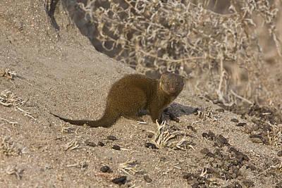 Designs Similar to Dwarf Mongoose Helogale Parvula