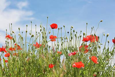 Welsh Poppy Art