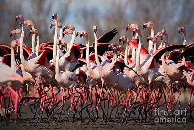 Designs Similar to Flock Of  Greater Flamingos