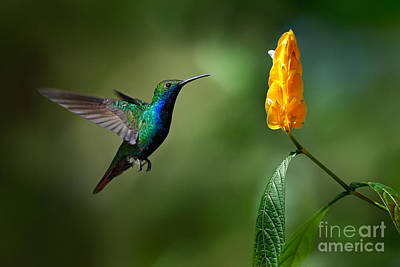 Designs Similar to Green And Blue Hummingbird