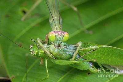 Designs Similar to Green Mantis Feeding On Katydid
