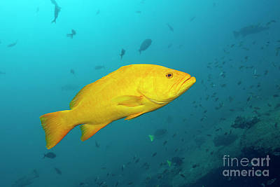 Designs Similar to Gulf Grouper In Yellow Phase