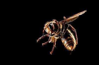 Hornets Photographs