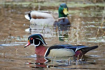 Designs Similar to Mallard Watching Wood Duck