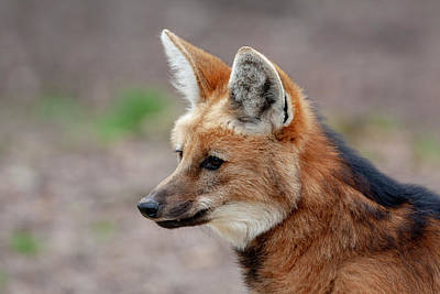 Designs Similar to Maned Wolf by Smart Aviation