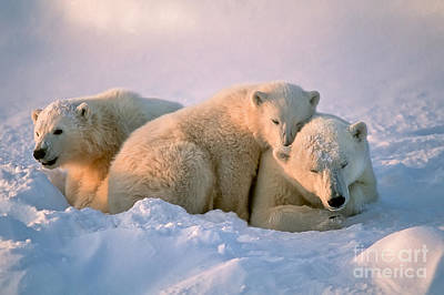 Designs Similar to Polar Bear With Her Cubs