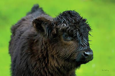 Designs Similar to Scottish Highland Cattle Xi