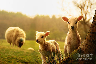 Designs Similar to Spring Lambs by Drew Rawcliffe