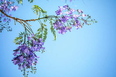 Jacaranda Tree Photographs