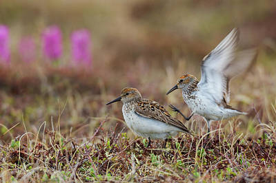Designs Similar to Western Sandpipers, Courtship