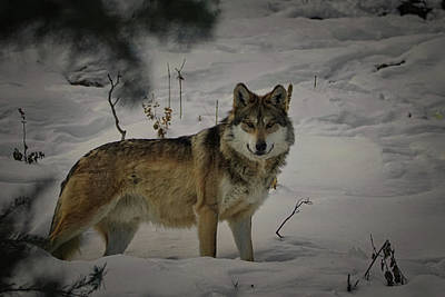 Designs Similar to Wolf In The Snow