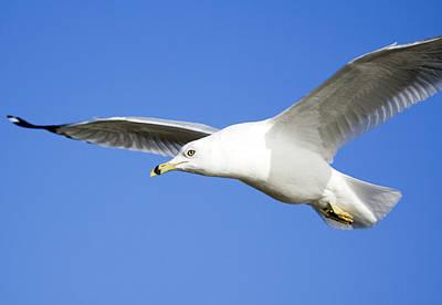 Designs Similar to Ring Billed Gull