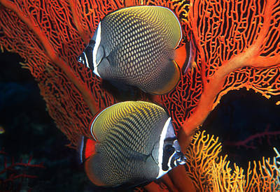 Designs Similar to Redtail Butterflyfish