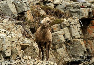 Sheep On Rocks Prints