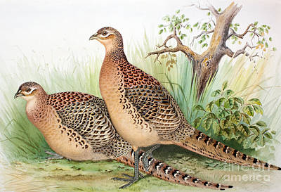 Designs Similar to Pheasants by Henry Jones