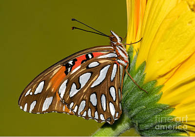 Designs Similar to Gulf Fritillary Butterfly