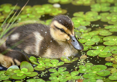 Baby Mallards Photographs Prints