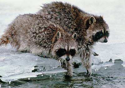 Designs Similar to Raccoons Washing