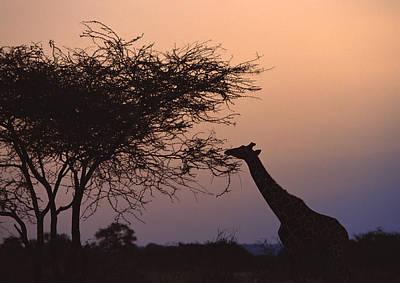 Designs Similar to Reticulated Giraffe