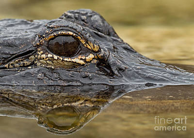 Designs Similar to American Alligator