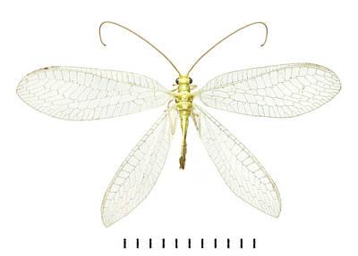 Chrysopidae Art