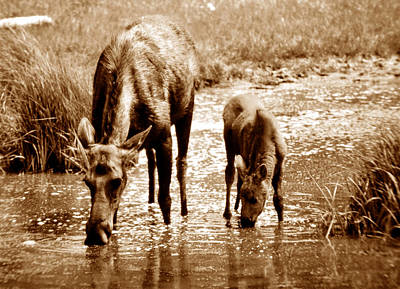 Young Moose Prints